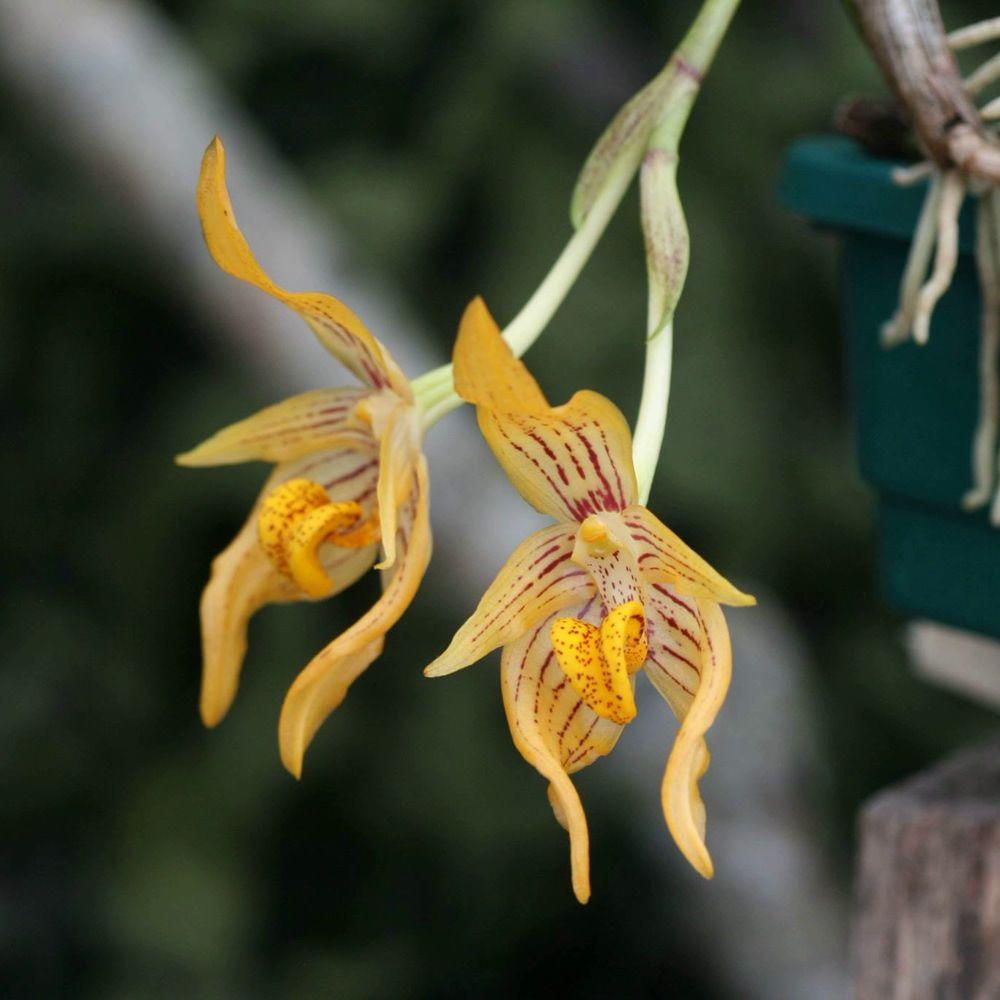 Bulbophyllum variabile