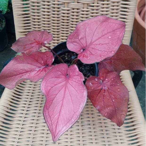 Caladium Thai Red