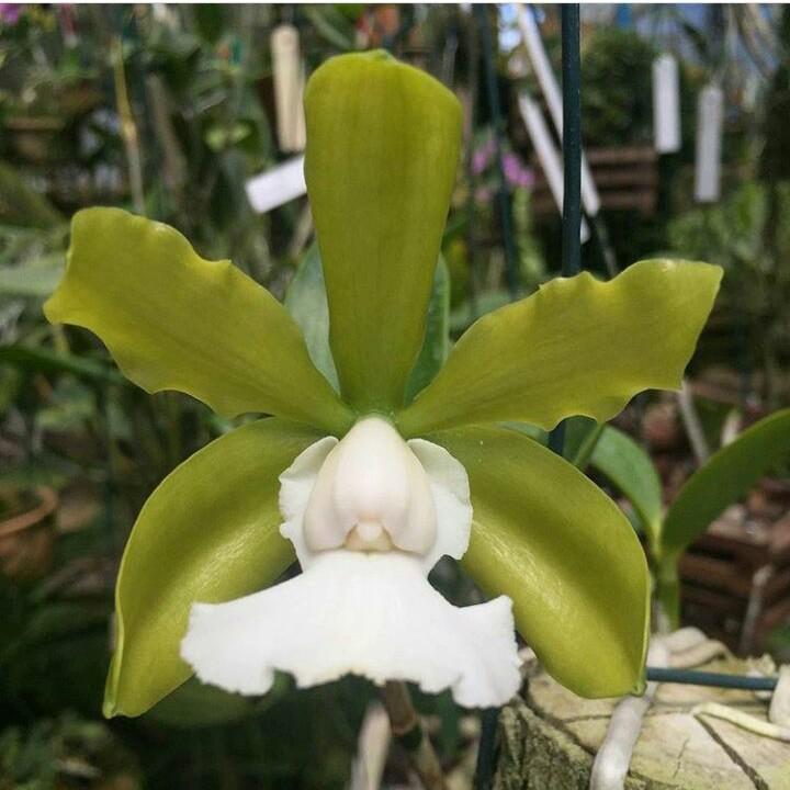 Cattleya aclandiae f. alba x self