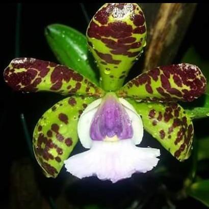 "Cattleya aclandiae f. coerulea T 3"""