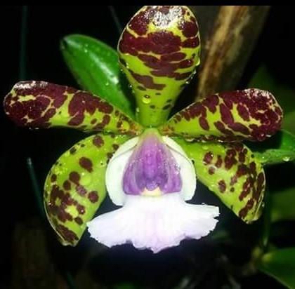 Cattleya aclandiae f. coerulea   T 2'