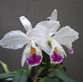 Cattleya jenmanii semi alba
