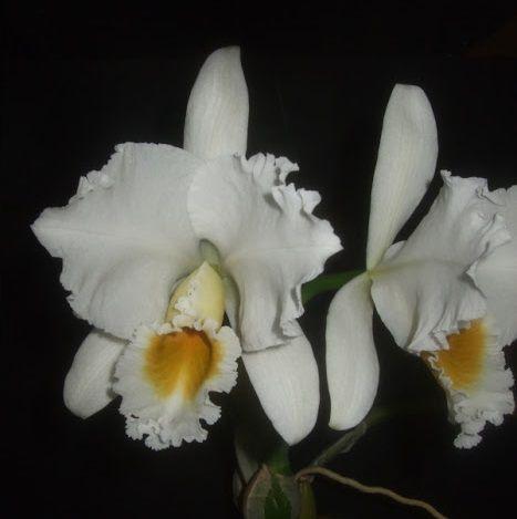 Cattleya percivaliana alba
