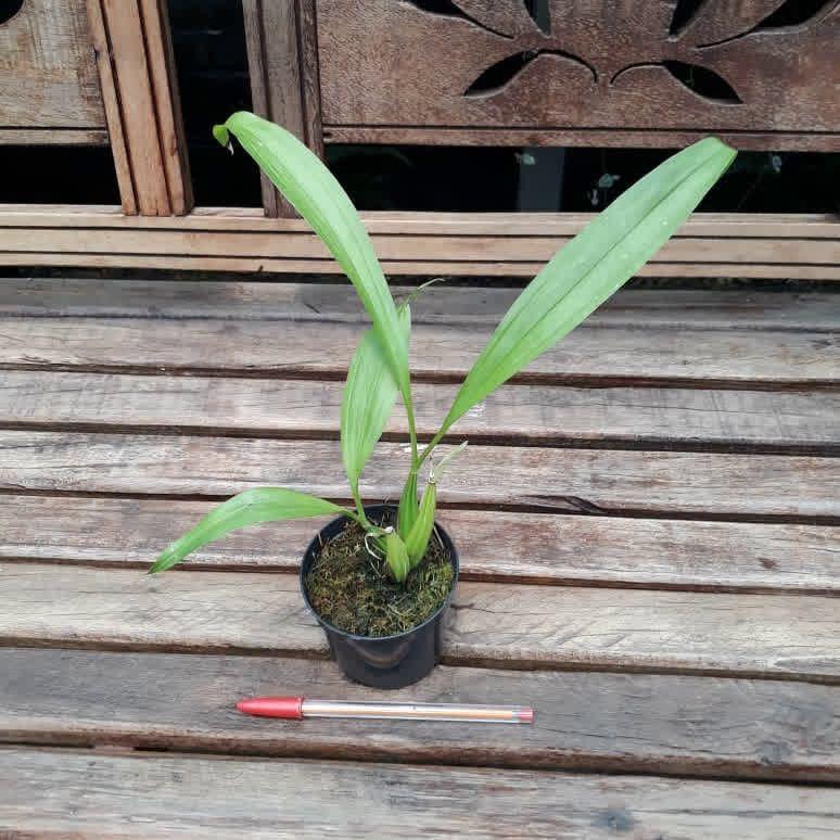Coryanthes wenzeliana