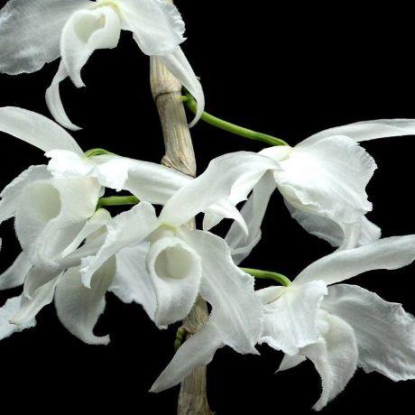 Dendrobium anosmum alba