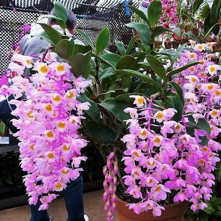 Dendrobium bronckarti