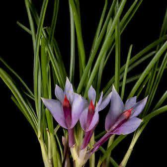Dendrobium hellwigianum