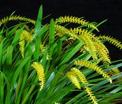 Dendrochilum javierii