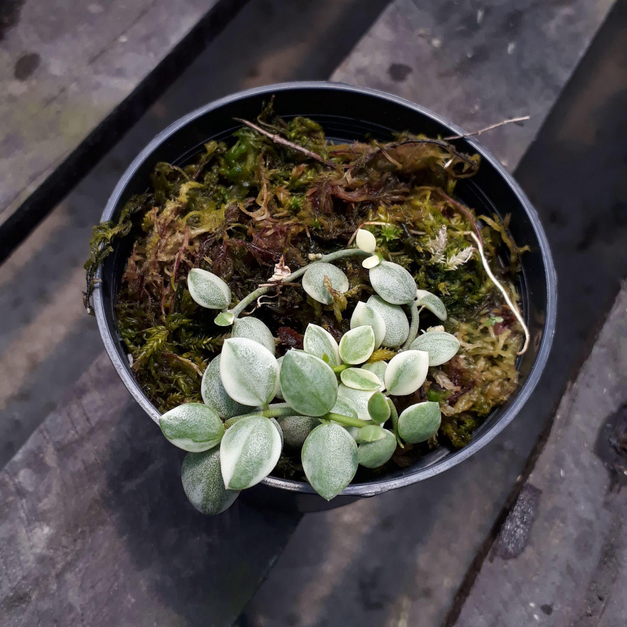 Dischidia nummularia variegata