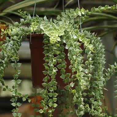 Dischidia ruscifolia variegata
