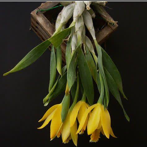 Encyclia citrina  sin. Euchile citrina