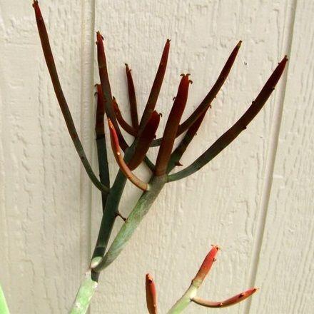 Euphorbia enterophora