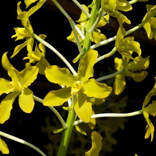 Grammatophyllum speciosum albo