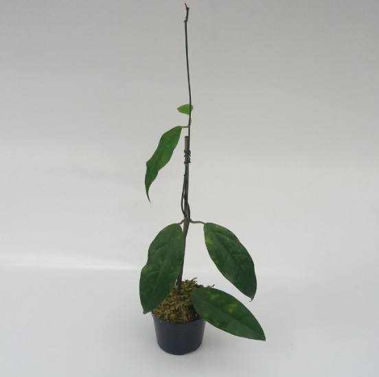Hoya halconensis