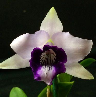 Laelia dayana coerulea ( sin. Hadrolaelia dayana coerulea, Cattleya bicalhoi coerulea )