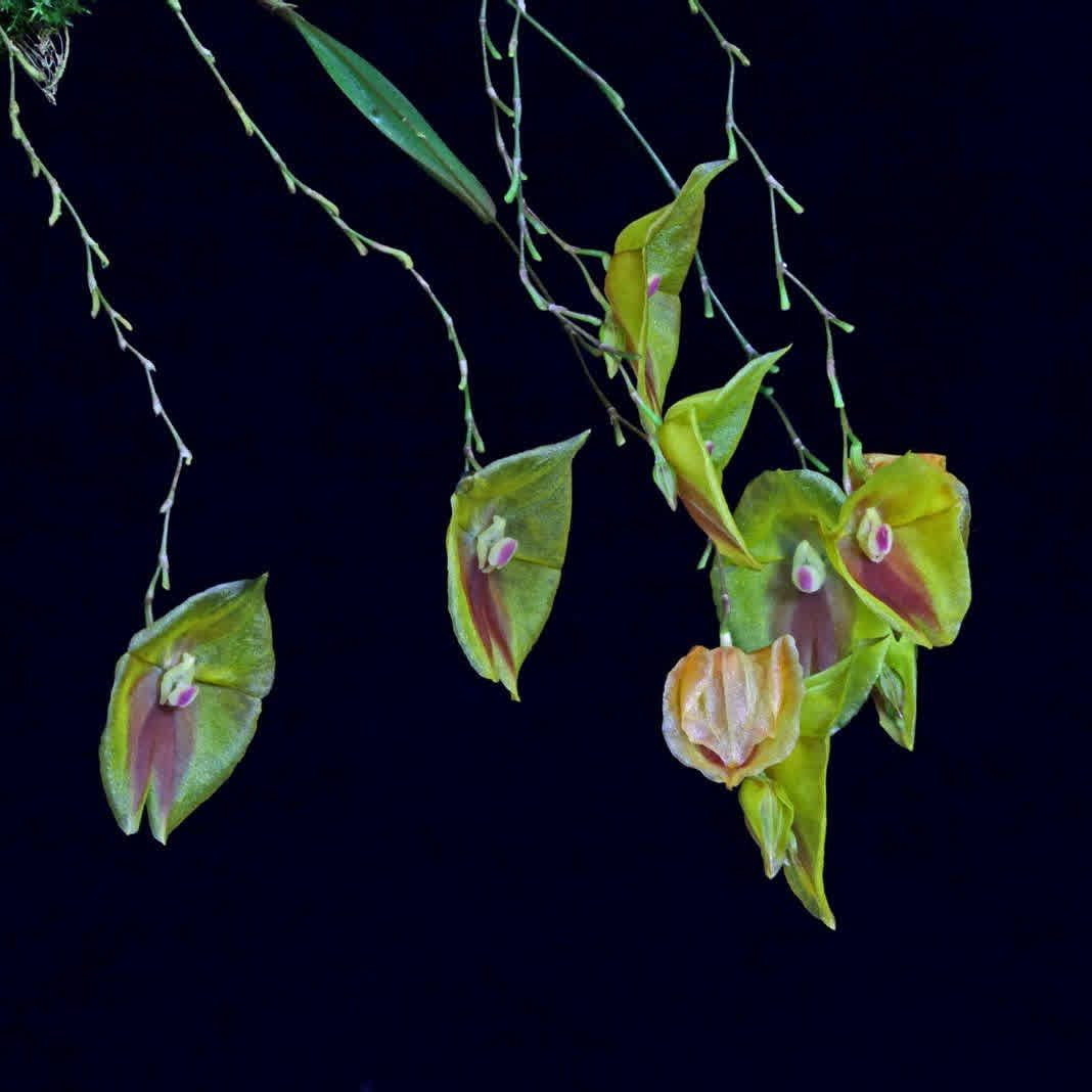Lepanthes escobariana