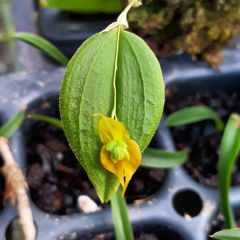 Lepanthes gargoyla xanthina