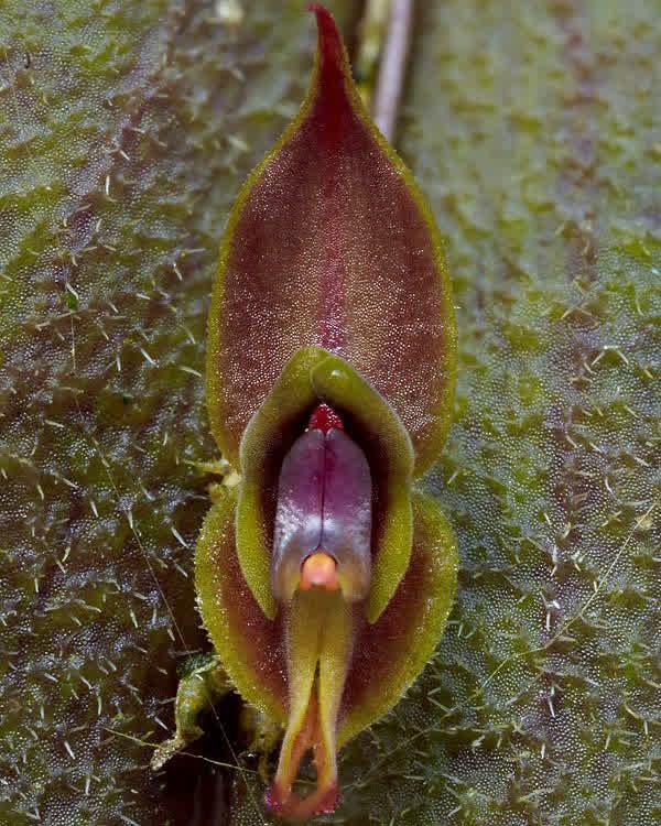 Lepanthes pubescens