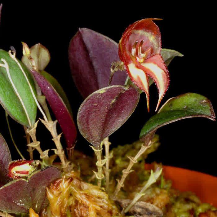 Lepanthes quadricornis