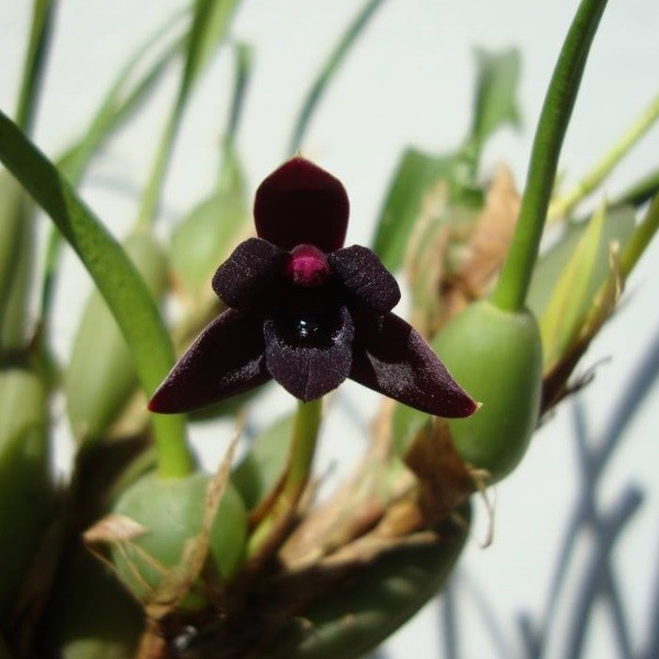 Maxillaria variabilis black