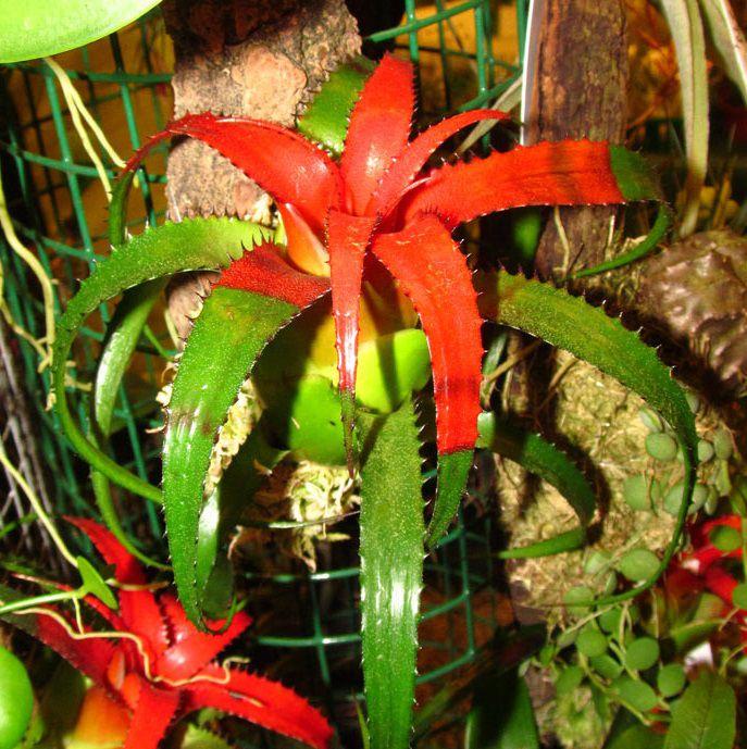 Neroregelia pendula var. brevifolia