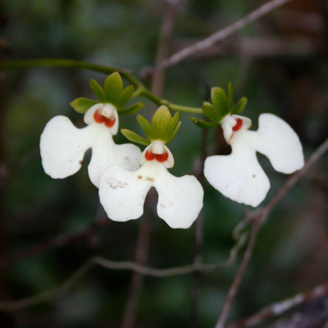 Oeonia rosea