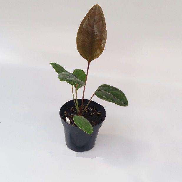 Anthurium ovatifolium