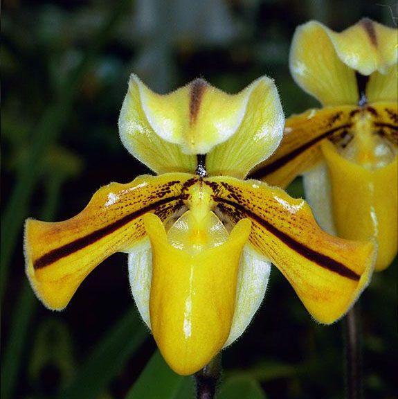Paphiopedilum druryi