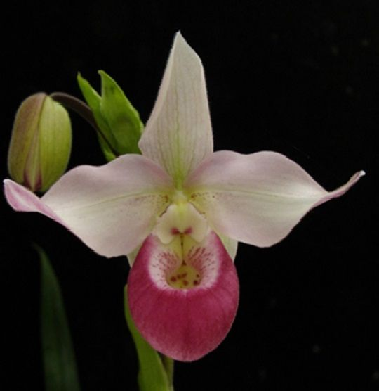 Phragmipedium Cardinale