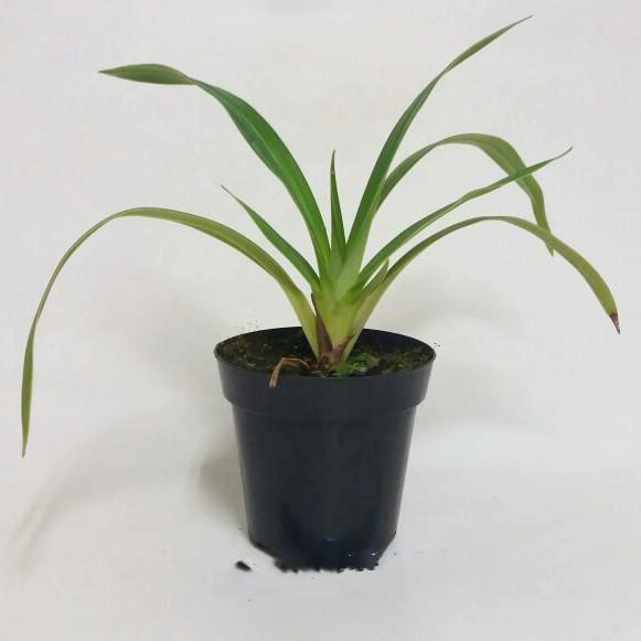 Phragmipedium Eumelia Arias