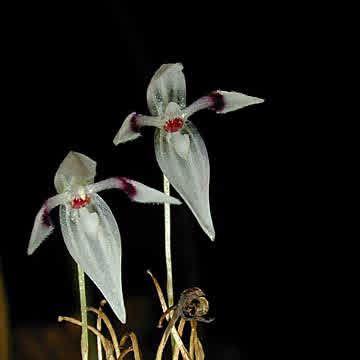 Pleurothallis aspergillum