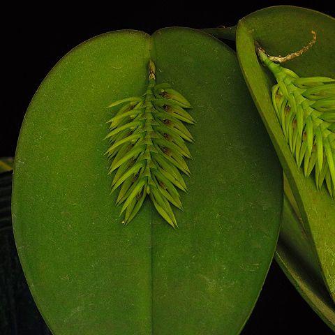 Pleurothallis pectinata alba