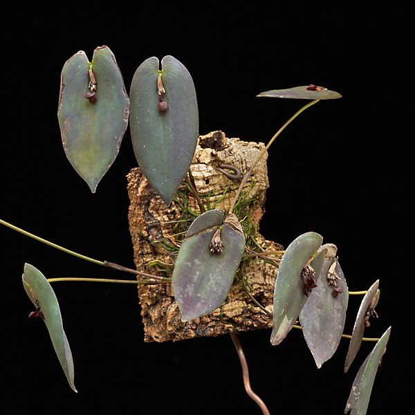 Pleurothallis phymatodea