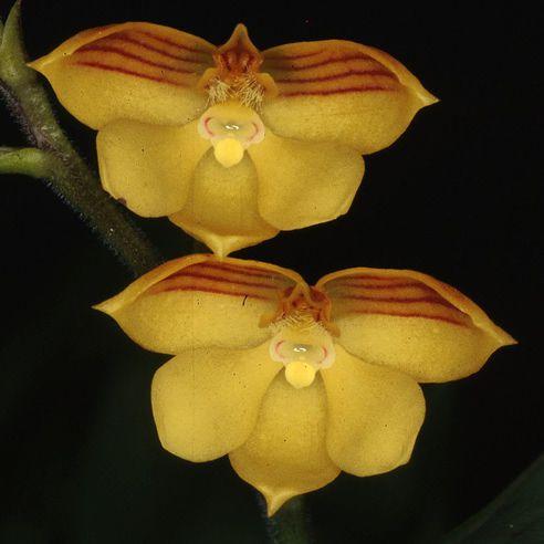 Polystachya pubescens