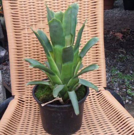Quesnelia tubifolia