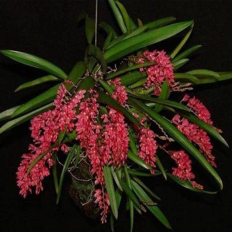 Rodriguesia lanceolata