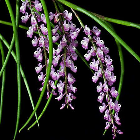 Schoenorchis juncifolia