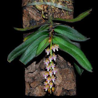 Schoenorchis secundiflora