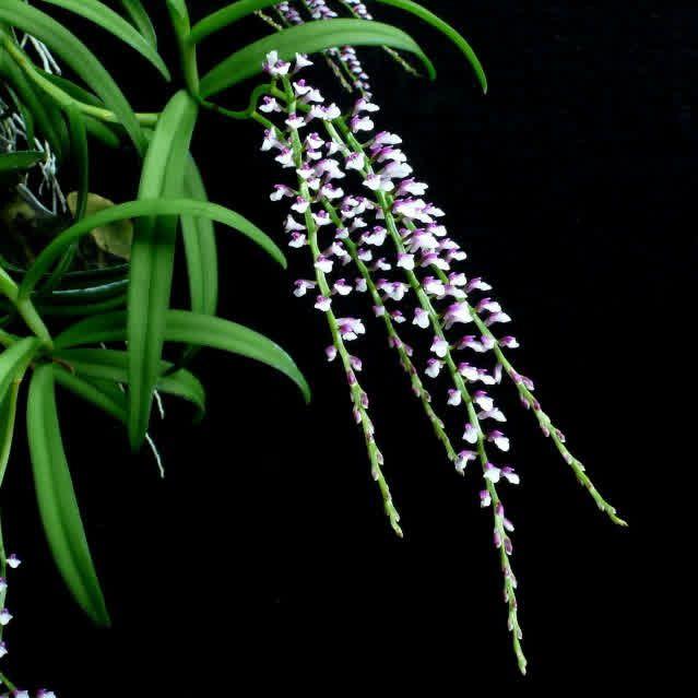 Schornorchis gemmata