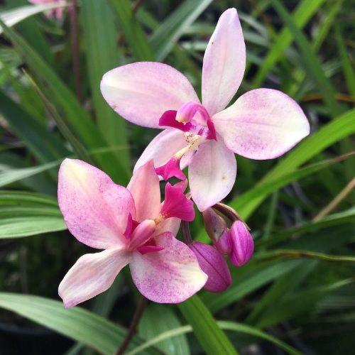 Spatholgottis x parsonii