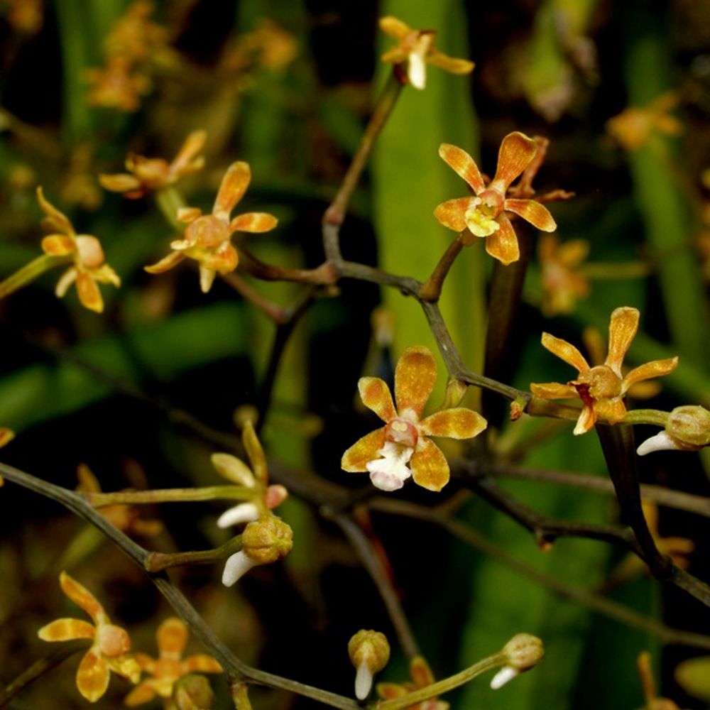 Staurochilus ramosus