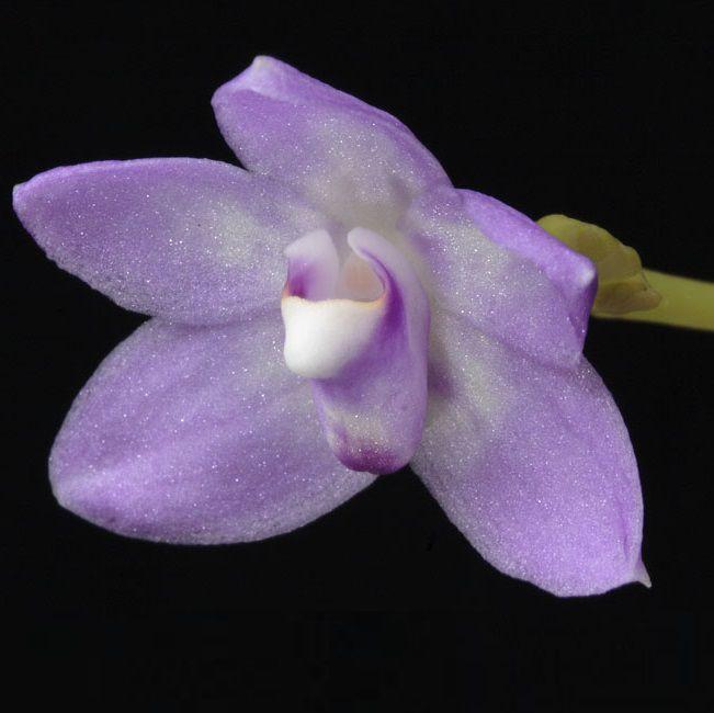 Thrixspermum amplexicaule