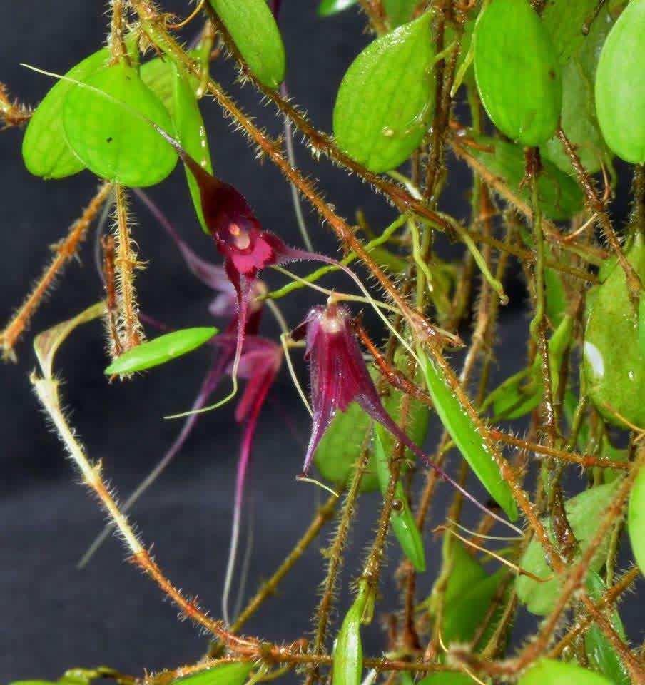 Trichosalpinx chamaelepanthes