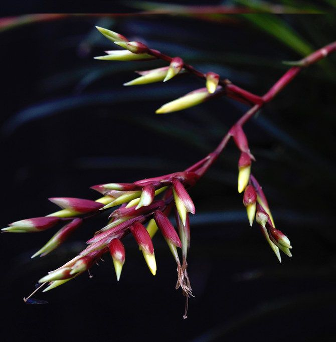 Vriesea corcovadensis