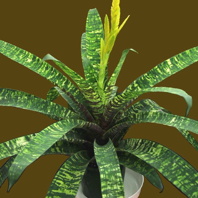 Vriesea ospinae f. gruberi