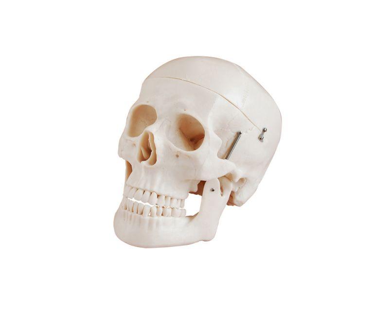 Crânio adulto humano