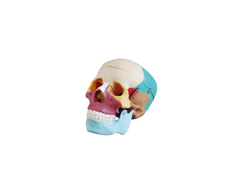 Crânio adulto humano colorido