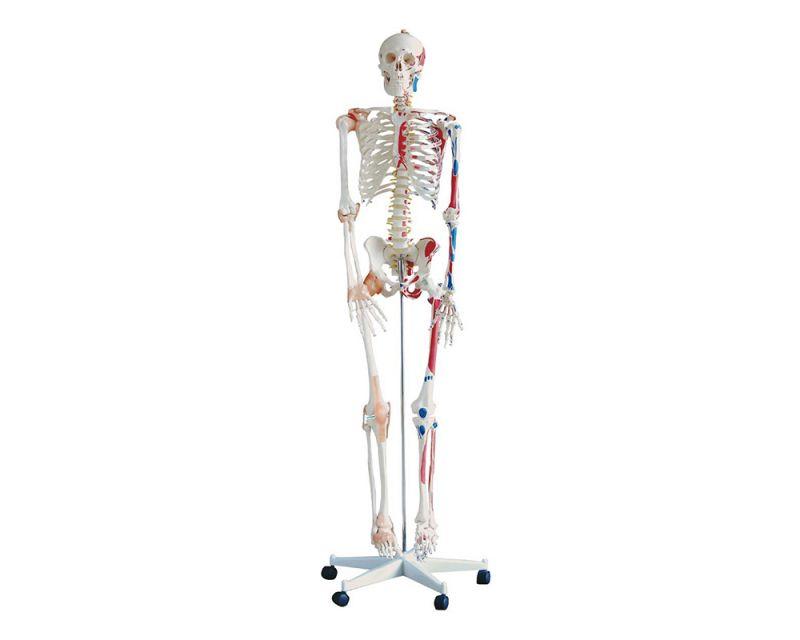 Esqueleto humano com ligamentos e origem/inserção muscular, 180cm