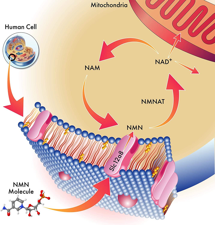 NMN Nicotinamide Mononucleotide 250mg Genex Formulas - 60 Capsulas
