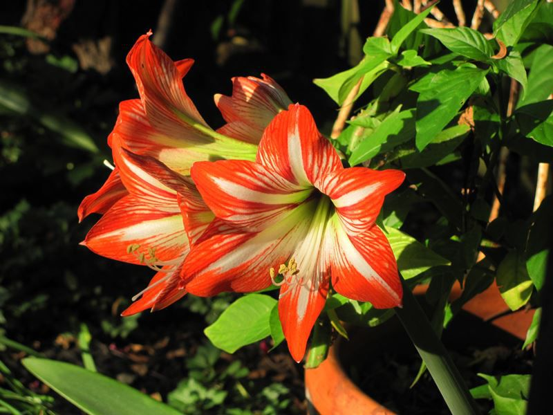 Açucena - Filhas de Gaia - 10 ml  - Floressência